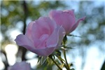 Light Pink Romantic Roses