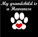 Havanese Grandchild
