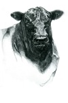 Angus Bull