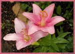 Pink lilies, photo