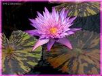 Water lily! Beautiful photo!