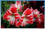 Amaryllis, beautiful foral photo