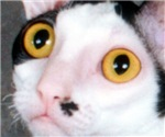 Cornish Rex Face