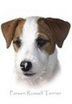 Parson Russell Terrier, Head Shot