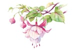 Elegant Fuchsia Flower Watercolor