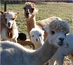 ALPACA FAMILY PORTRAIT™