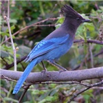 Steller's Jay on Branch