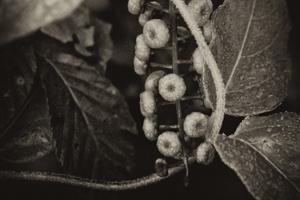 Berries and Vines Poke Sallet
