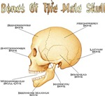 Bones of the Male Skull | Anatomically Correct T-shirts & Cartography Gifts