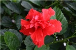 Hibuscus Flower