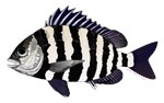 Sheepshead Porgy fish