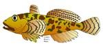 Pacific Sculpin