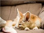Flash the fennec fox snoozing