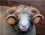Horned Ram Close Up