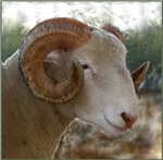 Ram Profile Headstudy