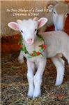2012 Christmas Lamb
