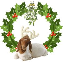 Baby Boer Goat Christmas