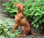 Vizsla Sitting in the Garden