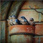 Flowerpot Swallows