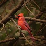 Song of the Redbird 1