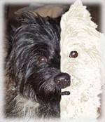 Harle-Cairn Terrier