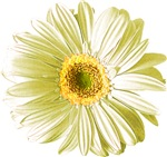 Pop Art White Daisy T-shirts & Gifts