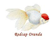Redcap Oranda