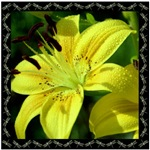 Yellow Lily with Dragonfly Border