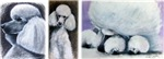 Tons of Poodle Paintings