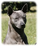Thai Ridgeback 9Y815D-273