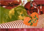Longhaired Dachshund: Christmas Joy