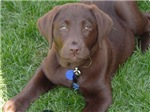 Chocolate Labrador Grass