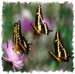 Three Swallowtail Butterflies
