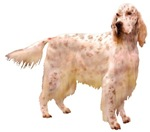 Side Glance English Setter