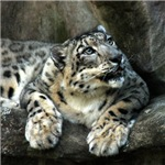 Snow Leopard Stuff