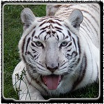 White Tiger Stuff
