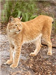 Siberian Lynx Stuff