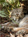 Canadian Lynx Long-Sleeved Shirts
