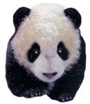 Panda T-Shirts, Panda Bears, Panda Cub, Baby Panda