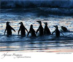 Penguins going to work