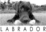 Labrador photo B&W