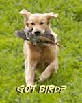 got bird2