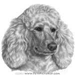 Holly, White/Cream Poodle
