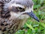 Curlew Eyes