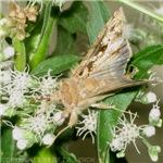 Moth Feeding On Nectar of Boneset Flowers