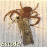 Crab Spider Eat Me