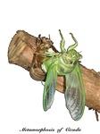 Metamorphosis of Cicada
