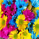 Coloful daisies flowers