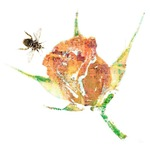 Delicate painting of tiny bee flying towards a pink rose.