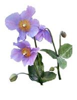 Lilac Himalayan Poppies